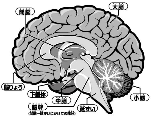 人の脳のイラスト。