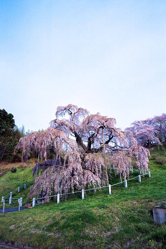 朝の三春滝桜