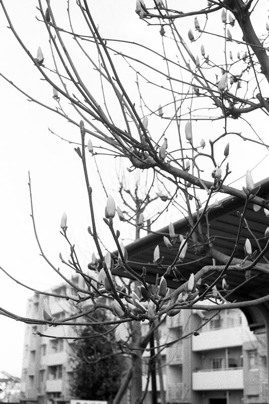 寒空のコブシのつぼみ